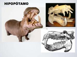 marfil hipopotamo